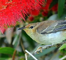 Scarlet Honeyeater . by helmutk