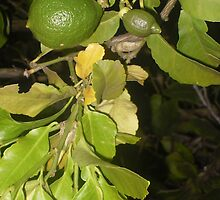 Lemons or Limes? by Jaques
