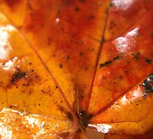 Wet Sycamore leaf by stellaozza