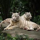 Two White Siberian tiger's laying down  by brevans