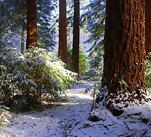 Redwood Grove snow scene by RCooper