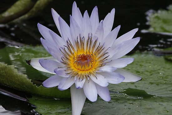 Water Lily by Dennis Cheeseman