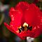 Portrait of a Red Flower by fab2can