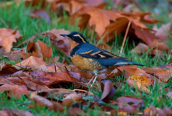 Varied  Thrush, Autumn Leaves by Martin Smart