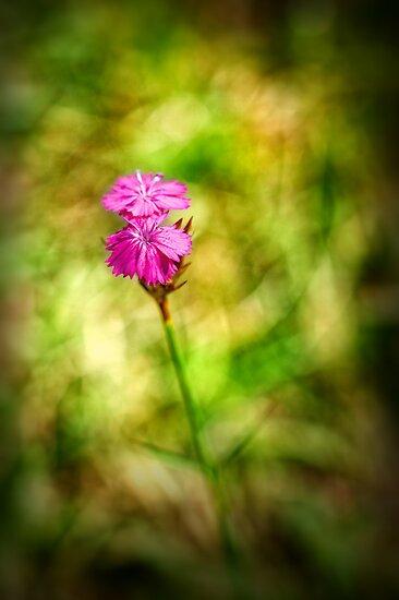 Pink  by Silvia Ganora