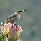 Cape Sugarbird on Protea by Macky