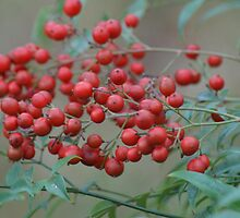 Nandina Berries by TxGimGim
