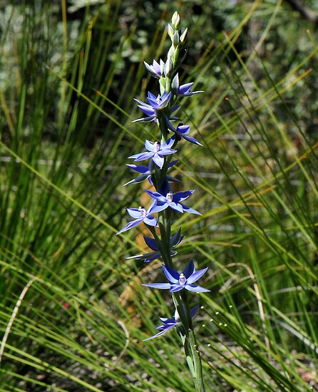 Thelymitra Sun Orchid by HG. QualityPhotography