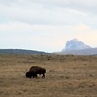 Bison and Chief Mountain by Alyce Taylor