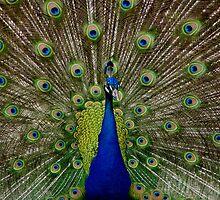 The Peacock by Caitlin Wynne