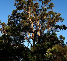 eucalypt sunset by tim buckley | bodhiimages