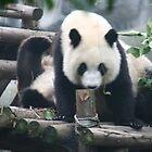 Panda by elphonline