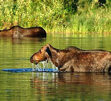 moose lunch buffet  by Rodney55