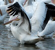 Flapping Pelican by Bonnie T.  Barry