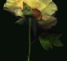Yellow Tree Peony by Barbara Wyeth