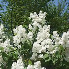 Fragrant White Lilacs In The Spring by JaneLoughney