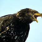 Screeching Eagle by lanebrain photography