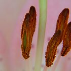 Pink Lily Stamen macro by PurelyPrime