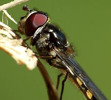 Australian Hoverfly Macro by PurelyPrime