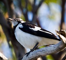 Australian Magpie-Lark perching by PurelyPrime