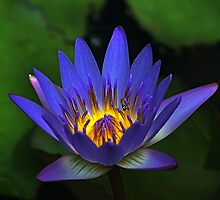 Special Waterlily  by Teresa Zieba
