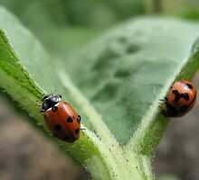 Ladybeetles by RobynHButler