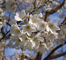 Cherry Blossoms by Sandy Keeton
