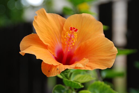 Orange Flower by Vonnie Murfin