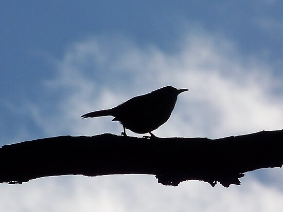 Carolina wren silhouette. Taken in Rockaway, NJ. by William Brennan