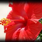 hibiscus by darlabooher