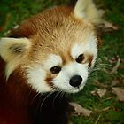 red panda by Brock Hunter