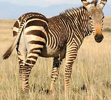 Mountain Zebra by ©   Elaine van Dyk