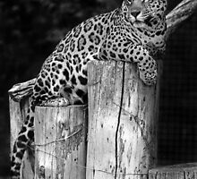 Caged Jaguar, Auckland by randmphotos
