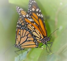 Matting butterflys by Anthony Wilson