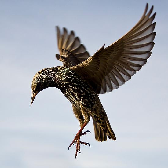 Starling Ballet by igotmeacanon