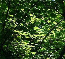 Sunlight Through Sycamore Leaves by constantchaos