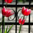 Tulips by Galind