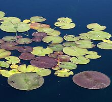 Lily Pad Pond by coffeebean