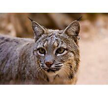 Portrait of a Bobcat Photographic Print