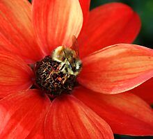 Bumble bee on orange flower by Deb22