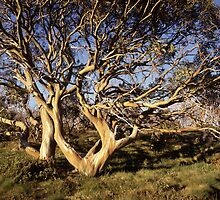 Golden snowgum at sunset, Vic Alps by Speedy