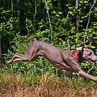 Weim on the Fly by Peggy Berger