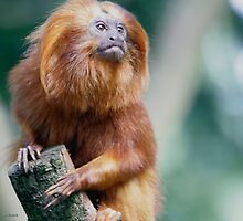 The Golden Lion Tamarin Monkey by John44