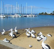 pelicans pantry waiting for dinner  by sueg