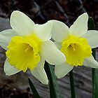 A Pair Of Daffodiles In Spring by JaneLoughney