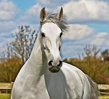 Equine Portraits by laurav