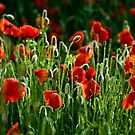 Poppies Remembered by Doug Chinnery