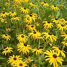 field of daisies by wildgurlphotos