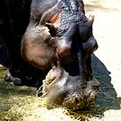 Hippo Lunchtime by Keith Richardson