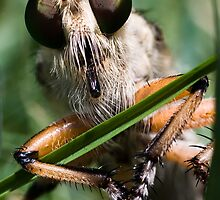 Robber Fly (Asilidae) 2 by WantedImages
